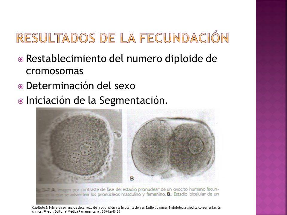 Restablecimiento del numero diploide de cromosomas Determinación del sexo Iniciación de la Segmentación.