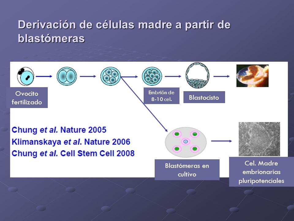 Derivación de células madre a partir de blastómeras Ovocito fertilizado Embrión de 8-10 cel. Blastocisto Blastómeras en cultivo Cel. Madre embrionaria
