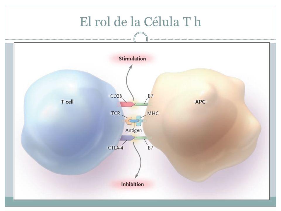 El rol de la Célula T h