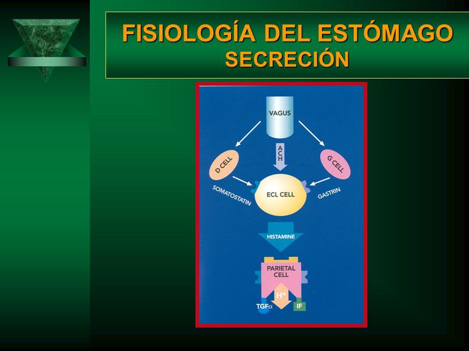 FISIOLOGÍA DEL ESTÓMAGO SECRECIÓN CUERPO Células parietales Células parietales. oSecreción de ácido clorhídrico. oSecreción en respuesta de Ach, gastr