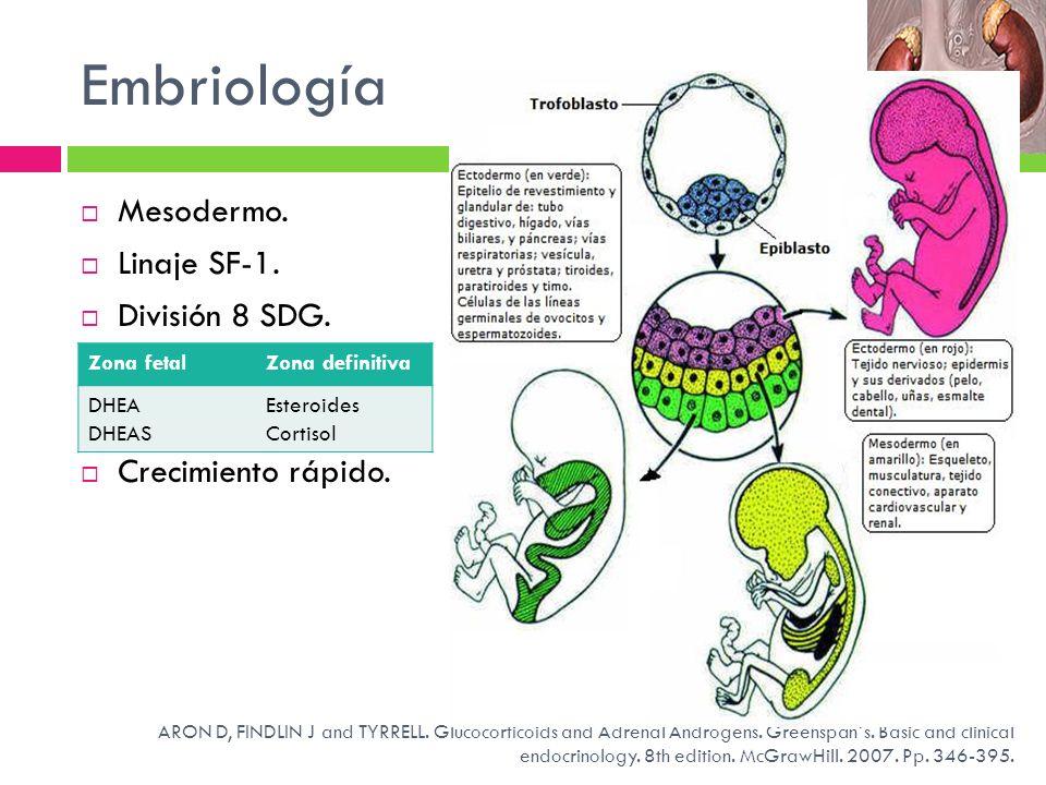 Embriología Mesodermo. Linaje SF-1. División 8 SDG. Crecimiento rápido. Zona fetalZona definitiva DHEA DHEAS Esteroides Cortisol ARON D, FINDLIN J and