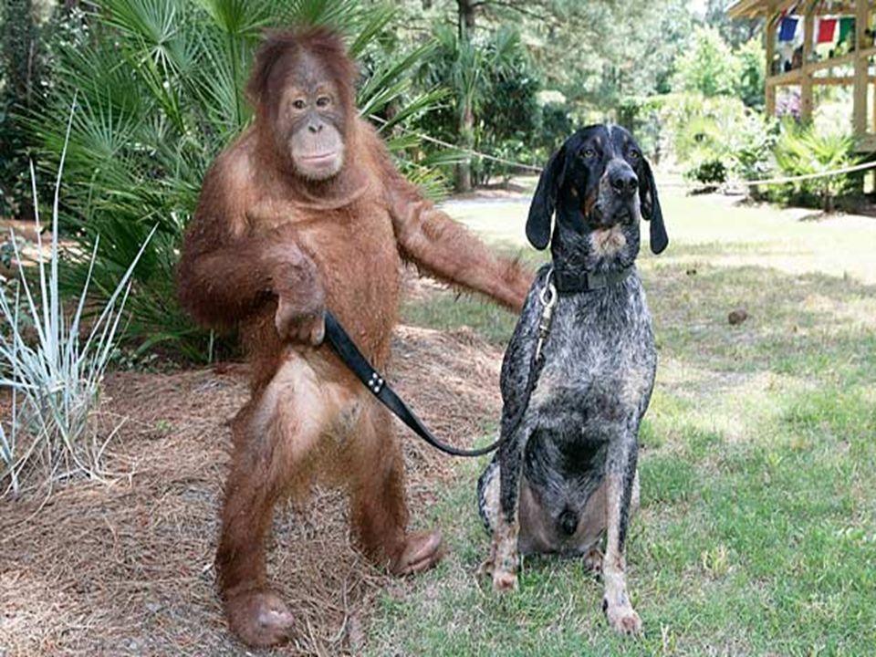 El mundo sería mucho mejor si los imitáramos. Después de perder a sus padres, este orangután de tres años de edad, estaba tan deprimido, que se rehusa