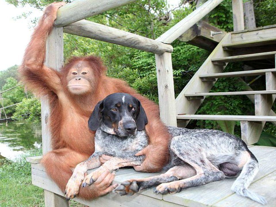 El orangután encontró una nueva razón para vivir y se esfuerza al máximo para acompañar a su nuevo amigo en sus actividades.