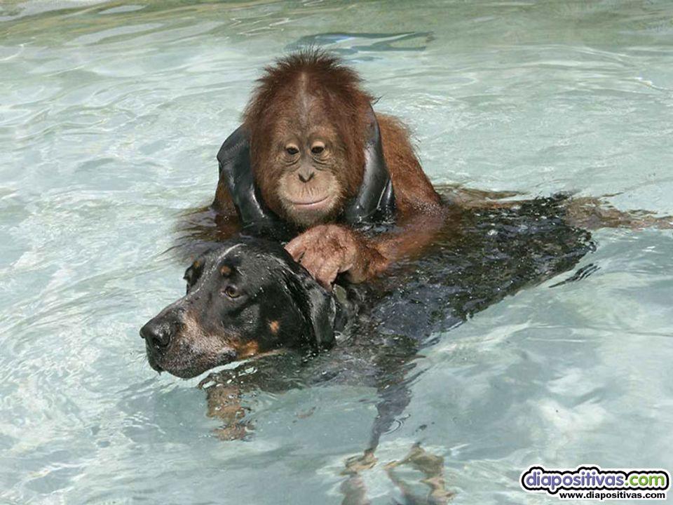 Ellos viven en el norte de California y la natación es el deporte favorito de ambos, aunque SURYIA (el orangután) todavía tiene un poco de miedo al ag