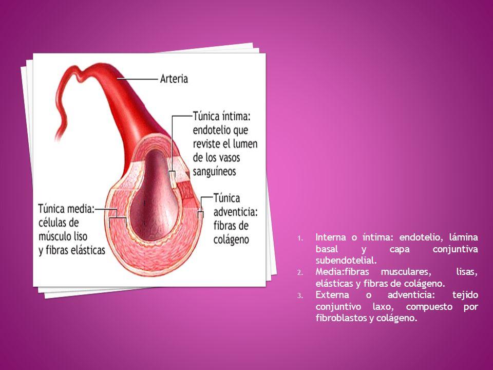 1. Interna o íntima: endotelio, lámina basal y capa conjuntiva subendotelial. 2. Media:fibras musculares, lisas, elásticas y fibras de colágeno. 3. Ex