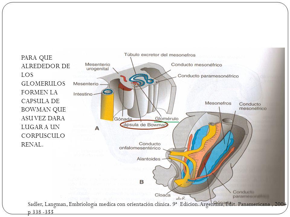 PARA QUE ALREDEDOR DE LOS GLOMERULOS FORMEN LA CAPSULA DE BOWMAN QUE ASU VEZ DARA LUGAR A UN CORPUSCULO RENAL. Sadler, Langman, Embriología medica con