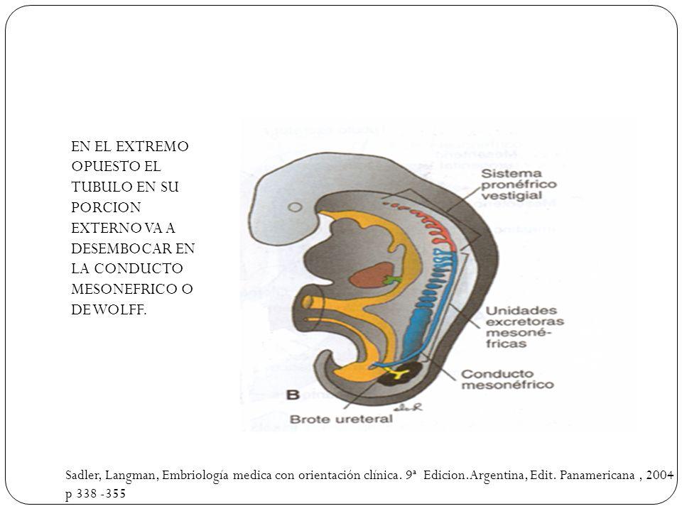 EN EL EXTREMO OPUESTO EL TUBULO EN SU PORCION EXTERNO VA A DESEMBOCAR EN LA CONDUCTO MESONEFRICO O DE WOLFF. Sadler, Langman, Embriología medica con o