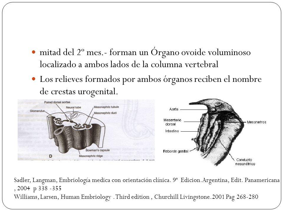 mitad del 2º mes.- forman un Órgano ovoide voluminoso localizado a ambos lados de la columna vertebral Los relieves formados por ambos órganos reciben