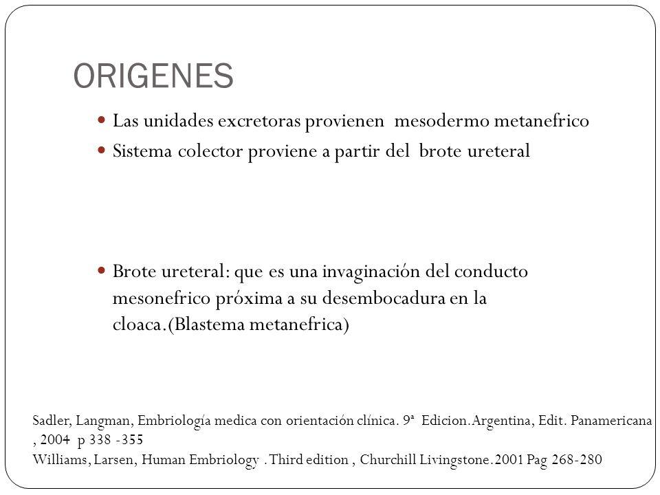 ORIGENES Las unidades excretoras provienen mesodermo metanefrico Sistema colector proviene a partir del brote ureteral Brote ureteral: que es una inva