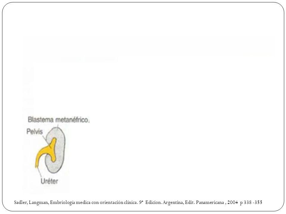 Sadler, Langman, Embriología medica con orientación clínica. 9ª Edicion.Argentina, Edit. Panamericana, 2004 p 338 -355