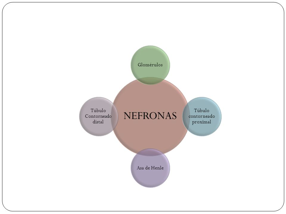 NEFRONAS Glomérulos Túbulo contorneado proximal Asa de Henle Túbulo Contorneado distal