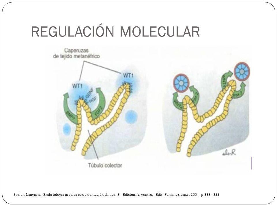 REGULACIÓN MOLECULAR Sadler, Langman, Embriología medica con orientación clínica. 9ª Edicion.Argentina, Edit. Panamericana, 2004 p 338 -355