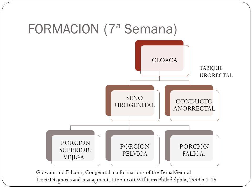 FORMACION (7ª Semana) CLOACA SENO UROGENITAL PORCION SUPERIOR: VEJIGA PORCION PELVICA PORCION FALICA. CONDUCTO ANORRECTAL TABIQUE URORECTAL Gidwani an