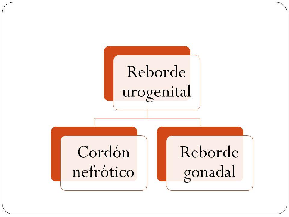 Reborde urogenital Cordón nefrótico Reborde gonadal