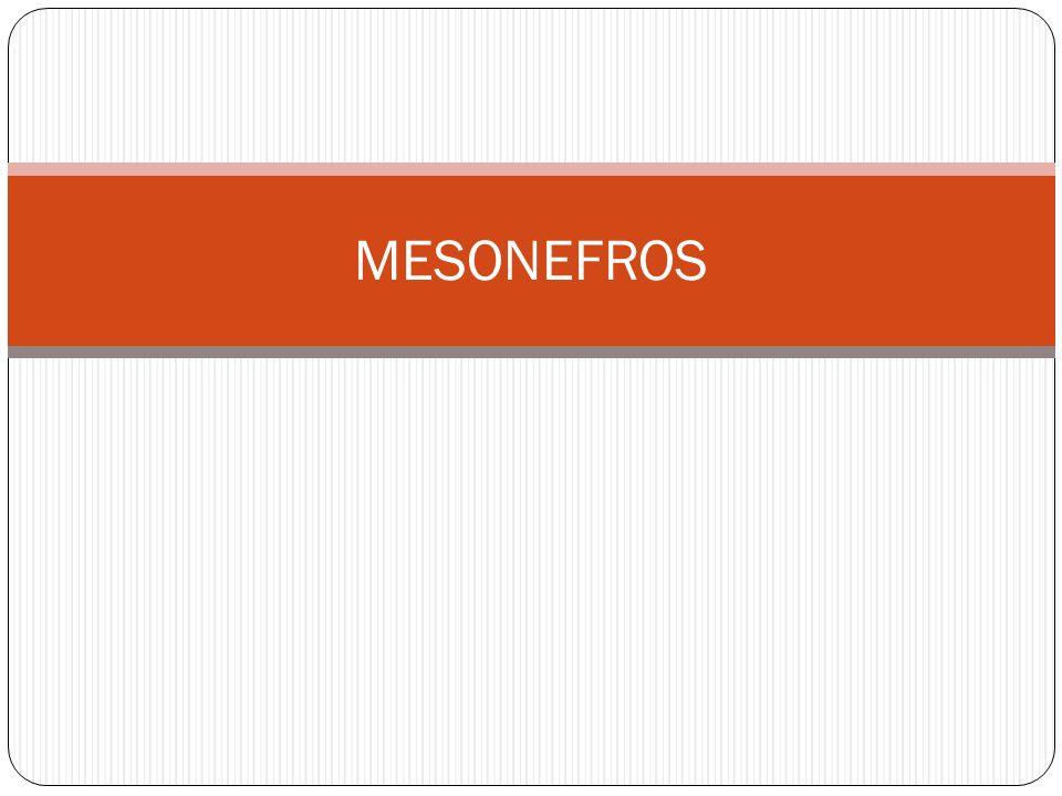 MESONEFROS