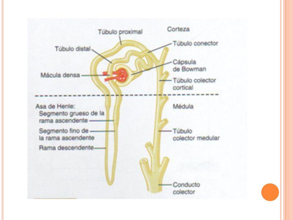 A CIDOSIS TUBULAR RENAL TIPO II PROXIMAL Defecto selectivo de la reabsorción de HCO3 La capacidad de los túbulos proximales para reabsorber HCO3 esta disminuida pH urinario > 7 Niveles de HCO3 normales en plasma pH urinario < 5.5 Niveles bajos de HCO3 Pereira P.C.B, Miranda D.M y col.