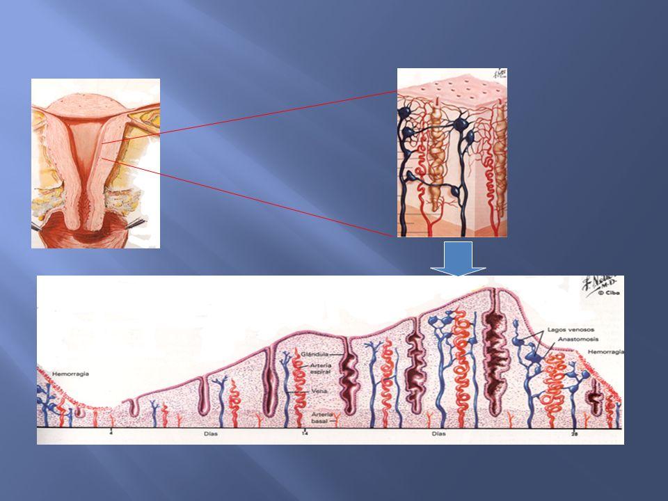 Orgánicas Disfuncionales Gravídicas No Gravídicas Ovulatorias (25%) Anovulatorias (75%) Clasificación Danforth, Tratado de Obstetricia y Ginecología, pp 631 - 643