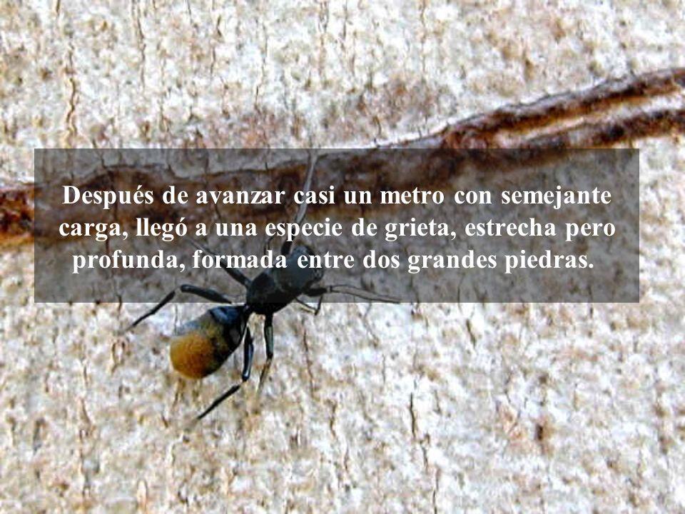 Pero una hormiga en particular atrajo mi atención. Negra y de tamaño mediano, la hormiga llevaba como carga una pajita que era seis veces más larga qu