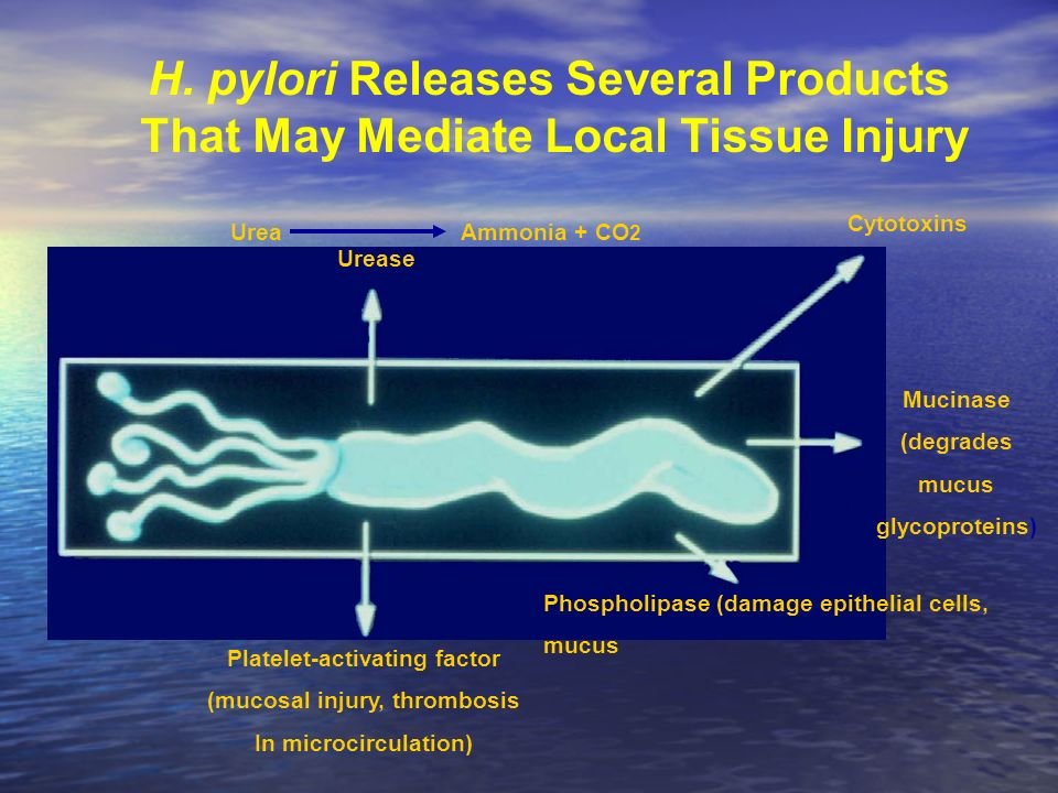 H. pylori Releases Several Products That May Mediate Local Tissue Injury Urea Ammonia + CO 2 Urease Cytotoxins Mucinase (degrades mucus glycoproteins)