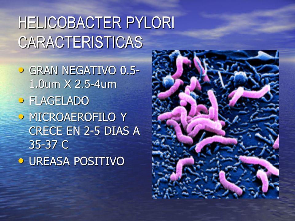 HELICOBACTER PYLORI CARACTERISTICAS GRAN NEGATIVO 0.5- 1.0 um X 2.5-4um GRAN NEGATIVO 0.5- 1.0 um X 2.5-4um FLAGELADO FLAGELADO MICROAEROFILO Y CRECE