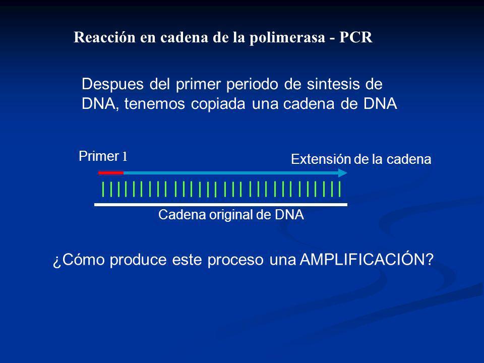 Despues del primer periodo de sintesis de DNA, tenemos copiada una cadena de DNA Primer 1 Extensión de la cadena Cadena original de DNA ¿Cómo produce este proceso una AMPLIFICACIÓN.