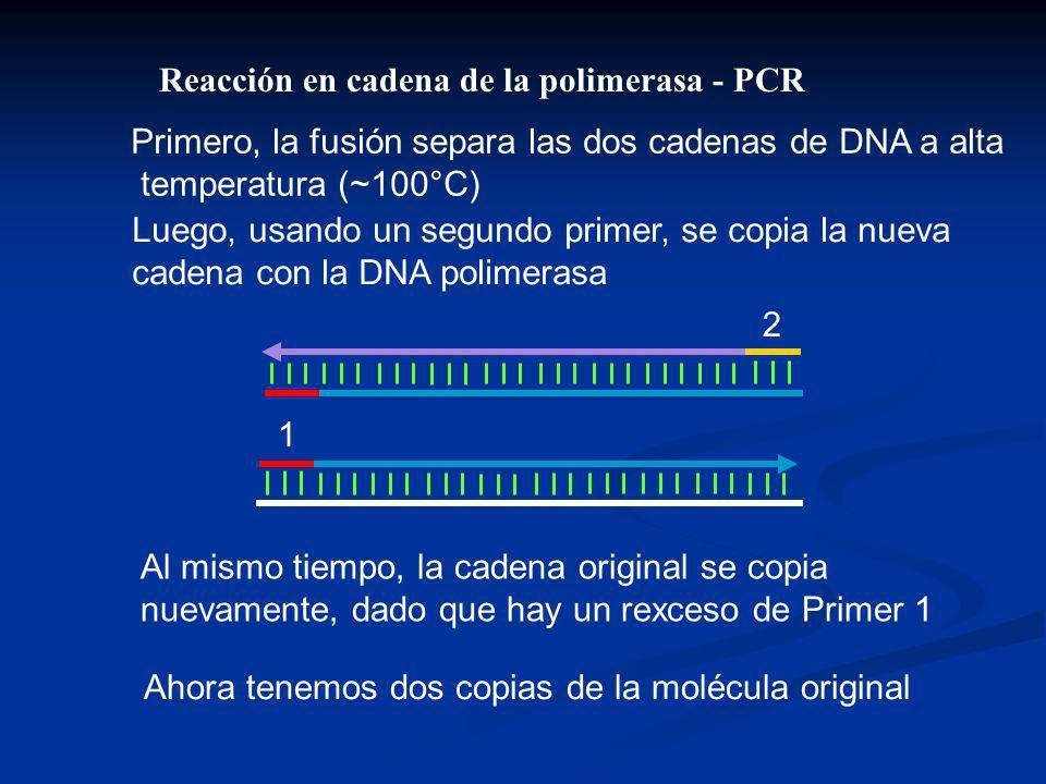 Primero, la fusión separa las dos cadenas de DNA a alta temperatura (~100°C) Luego, usando un segundo primer, se copia la nueva cadena con la DNA polimerasa Al mismo tiempo, la cadena original se copia nuevamente, dado que hay un rexceso de Primer 1 2 1 Ahora tenemos dos copias de la molécula original Reacción en cadena de la polimerasa - PCR