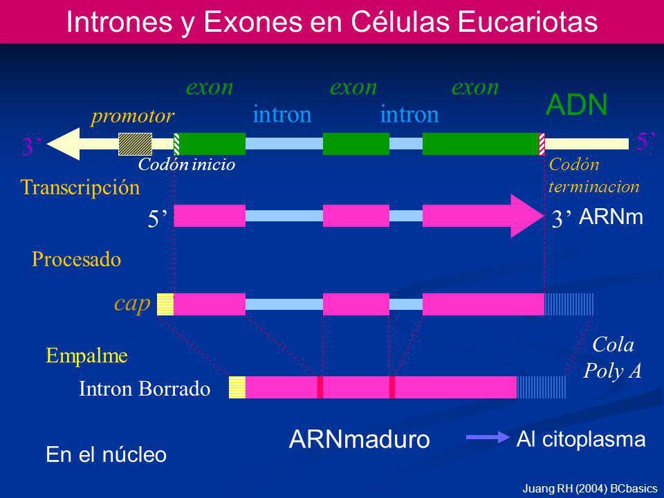 Intrones y Exones en Células Eucariotas ARNm ADN 5 3 cap Cola Poly A exon intron ARNmaduro Procesado Transcripción Empalme promotor 3 5 En el núcleo Codón inicio Codón terminacion Al citoplasma Intron Borrado Juang RH (2004) BCbasics
