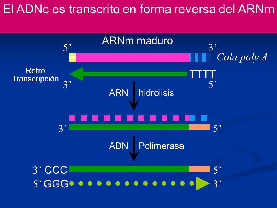 El ADNc es transcrito en forma reversa del ARNm ARNm maduro Cola poly A 53 TTTT Retro Transcripción CCC 35 3 53 GGG ADN Polimerasa ARN hidrolisis 5 35