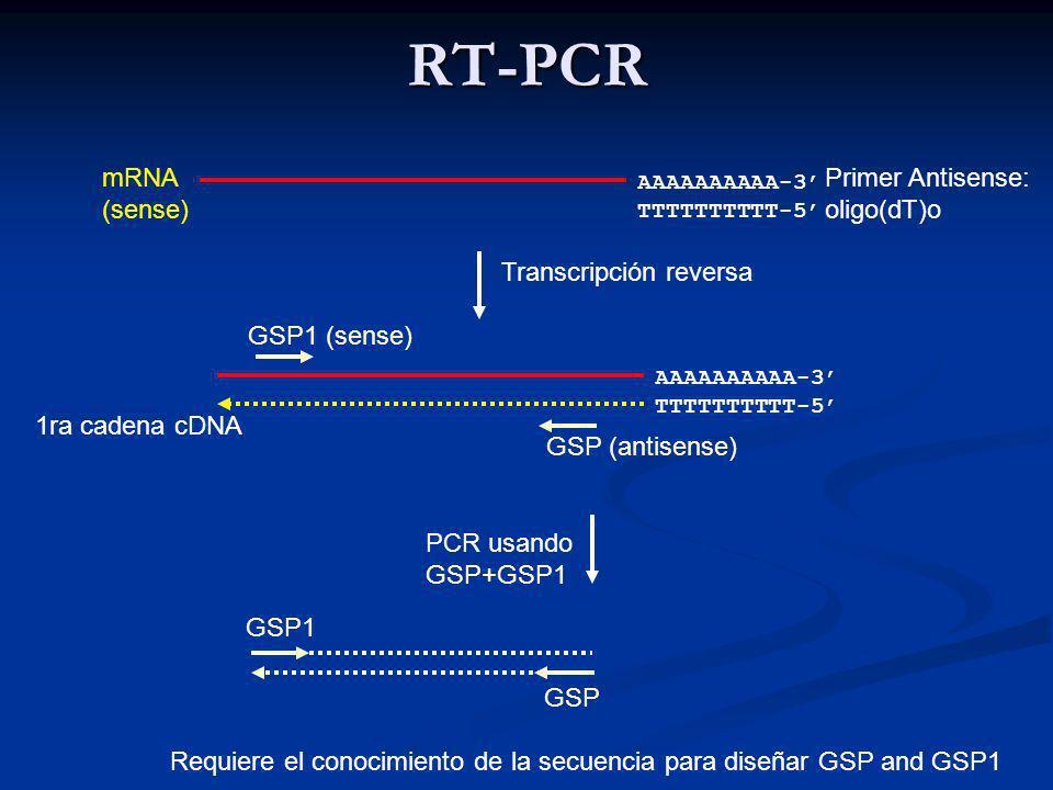 RT-PCR AAAAAAAAAA-3 TTTTTTTTTT-5 Transcripción reversa PCR usando GSP+GSP1 AAAAAAAAAA-3 TTTTTTTTTT-5 mRNA (sense) Primer Antisense: oligo(dT)o 1ra cadena cDNA GSP1 (sense) GSP (antisense) GSP1 GSP Requiere el conocimiento de la secuencia para diseñar GSP and GSP1