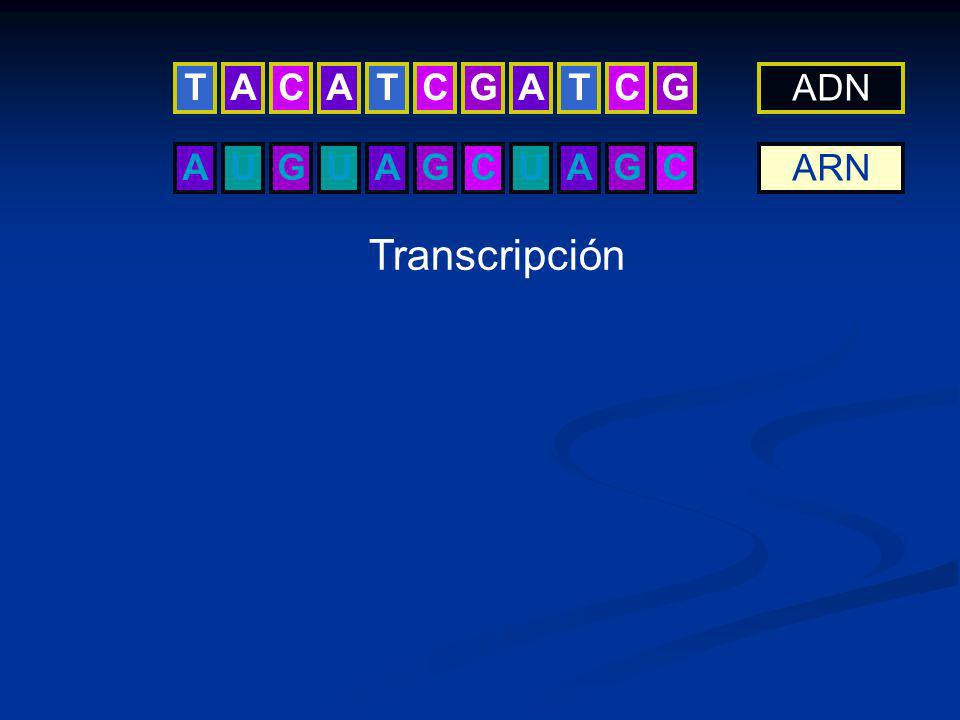 AGUUAGCUAGC ADN ARN Transcripción TCATCGATCGA