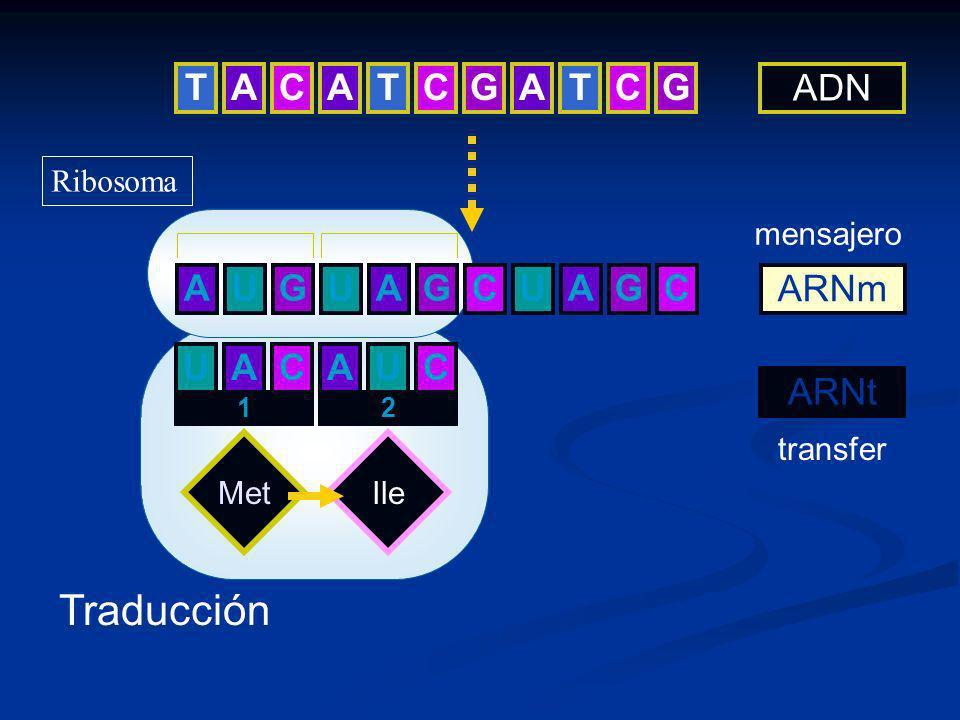 TCAATCGATCG AGUUAGCUAGC ADN ARNm Met UA 1 CAU 2 Ile C Traducción mensajero ARNt transfer Ribosoma