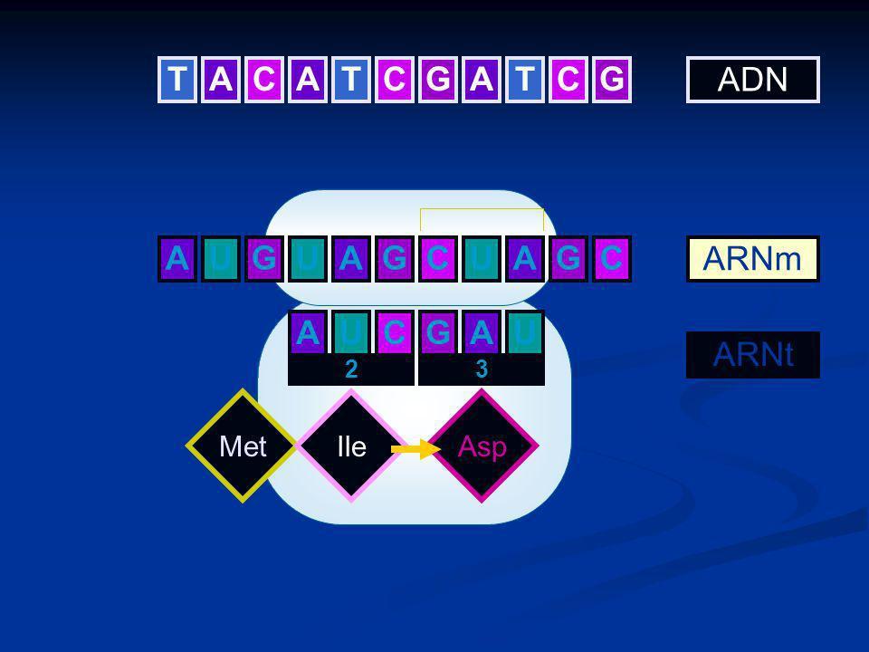 UAGCUAGC ADN ARNm ARNt MetIle AU 2 CU 3 Asp GA TCAATCGATCG AGU