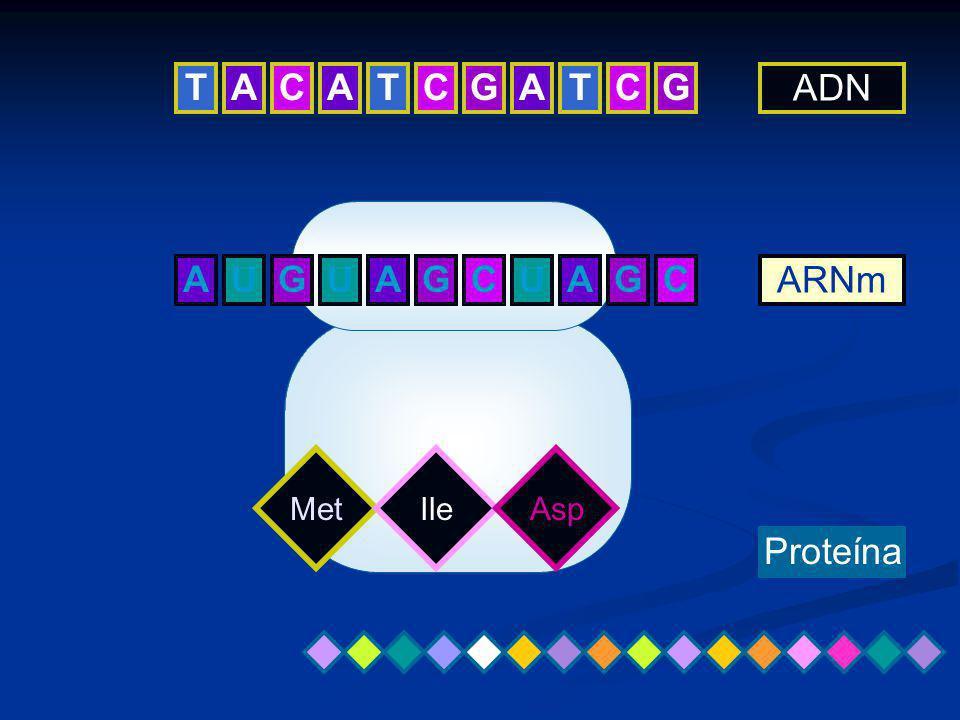 ATCGATCG UAGCUAGC ADN ARNm Proteína MetIleAsp TCA AGU