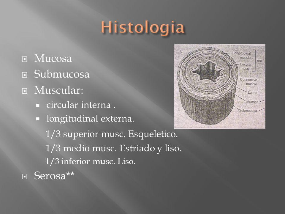 Mucosa Submucosa Muscular: circular interna. longitudinal externa. 1/3 superior musc. Esqueletico. 1/3 medio musc. Estriado y liso. 1/3 inferior musc.