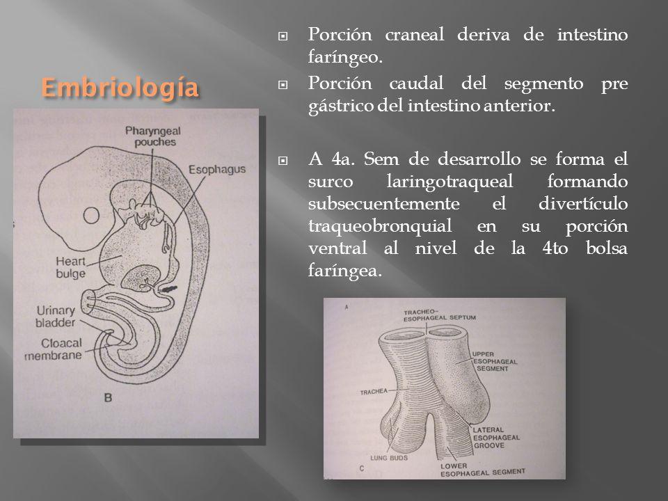 Embriología Porción craneal deriva de intestino faríngeo. Porción caudal del segmento pre gástrico del intestino anterior. A 4a. Sem de desarrollo se