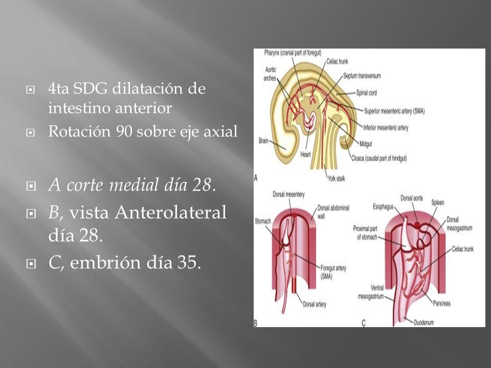 4ta SDG dilatación de intestino anterior Rotación 90 sobre eje axial A corte medial día 28. B, vista Anterolateral día 28. C, embrión día 35.