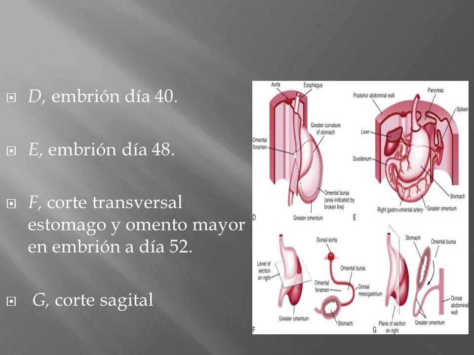 D, embrión día 40. E, embrión día 48. F, corte transversal estomago y omento mayor en embrión a día 52. G, corte sagital