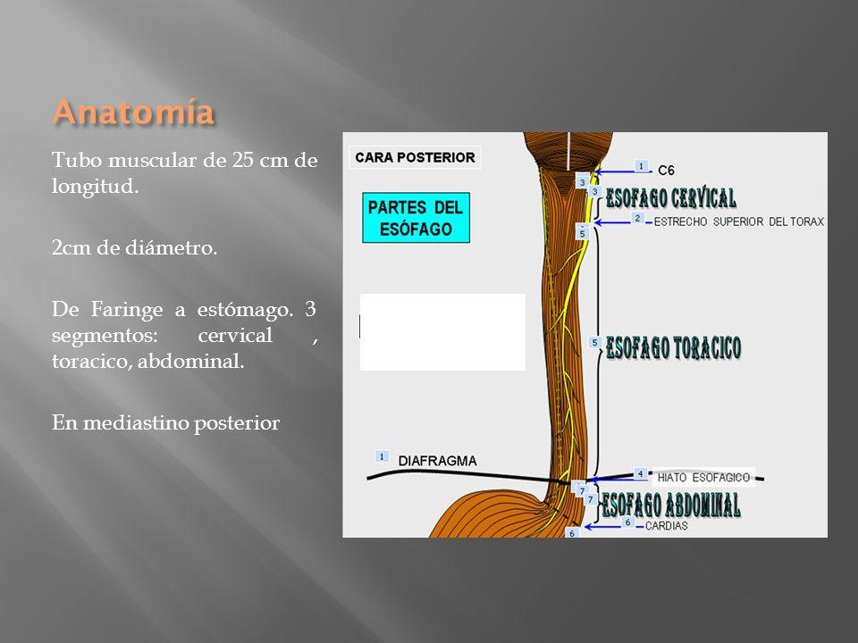 Anatomía Tubo muscular de 25 cm de longitud. 2cm de diámetro. De Faringe a estómago. 3 segmentos: cervical, toracico, abdominal. En mediastino posteri