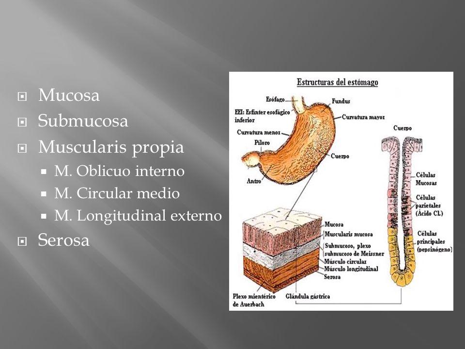 Mucosa Submucosa Muscularis propia M. Oblicuo interno M. Circular medio M. Longitudinal externo Serosa