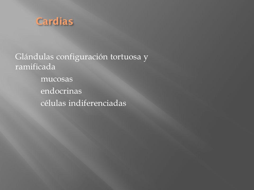Cardias Glándulas configuración tortuosa y ramificada mucosas endocrinas células indiferenciadas