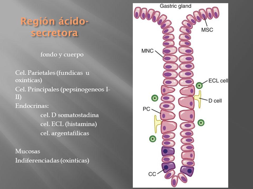 Región ácido- secretora fondo y cuerpo Cel. Parietales (fundicas u oxinticas) Cel. Principales (pepsinogeneos I- II) Endocrinas: cel. D somatostadina