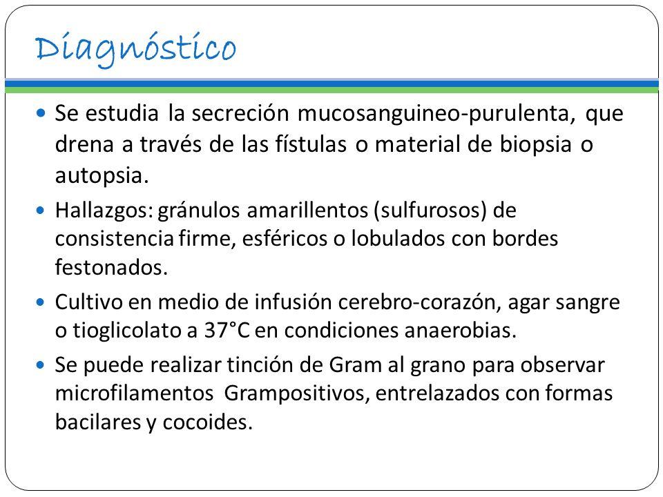 Diagnóstico Se estudia la secreción mucosanguineo-purulenta, que drena a través de las fístulas o material de biopsia o autopsia. Hallazgos: gránulos