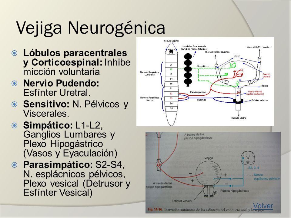 Vejiga Neurogénica Lóbulos paracentrales y Corticoespinal: Inhibe micción voluntaria Nervio Pudendo: Esfínter Uretral. Sensitivo: N. Pélvicos y Viscer
