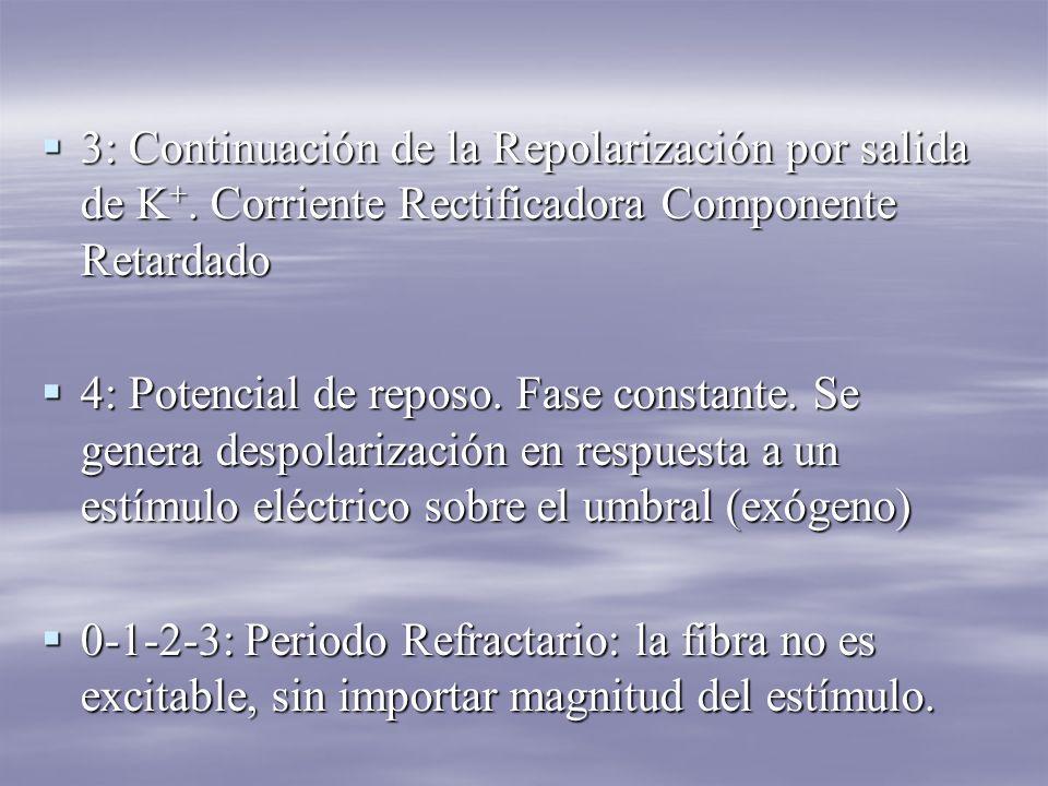 3: Continuación de la Repolarización por salida de K +.