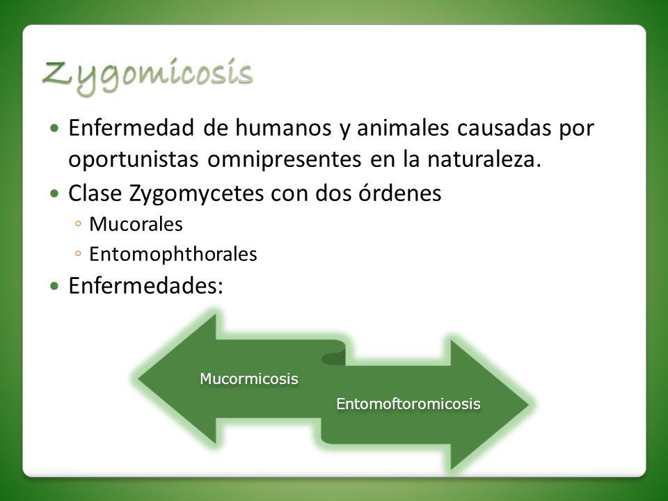 Enfermedad de humanos y animales causadas por oportunistas omnipresentes en la naturaleza. Clase Zygomycetes con dos órdenes Mucorales Entomophthorale