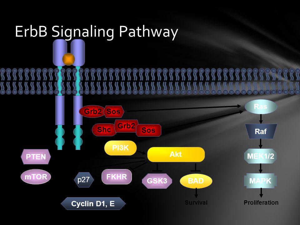 ErbB Signaling Pathway Grb2 Sos Shc Grb2 Sos PI3K Akt Ras Raf MEK1/2 MAPK BAD SurvivalProliferation PTEN mTOR Cell-cycle progression FKHR GSK3 p27 Cyc