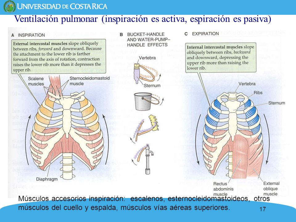 17 Ventilación pulmonar (inspiración es activa, espiración es pasiva) Músculos accesorios inspiración: escalenos, esternocleidomastoideos, otros múscu
