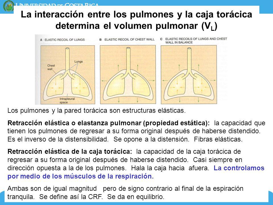 7 La interacción entre los pulmones y la caja torácica determina el volumen pulmonar (V L ) Dra. Adriana Suárez MSc. Profesora Asociada Los pulmones y
