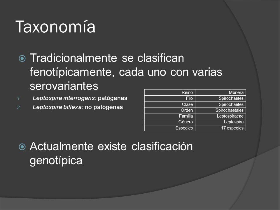 Taxonomía Tradicionalmente se clasifican fenotípicamente, cada uno con varias serovariantes 1. Leptospira interrogans: patógenas 2. Leptospira biflexa