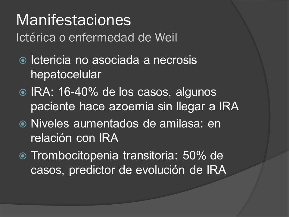 Manifestaciones Ictérica o enfermedad de Weil Ictericia no asociada a necrosis hepatocelular IRA: 16-40% de los casos, algunos paciente hace azoemia s